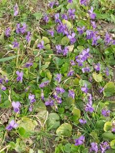 Fialkový obraz jara